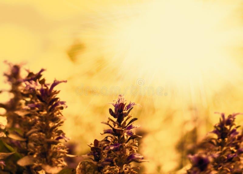Purple flowers with rays of sun stock photos