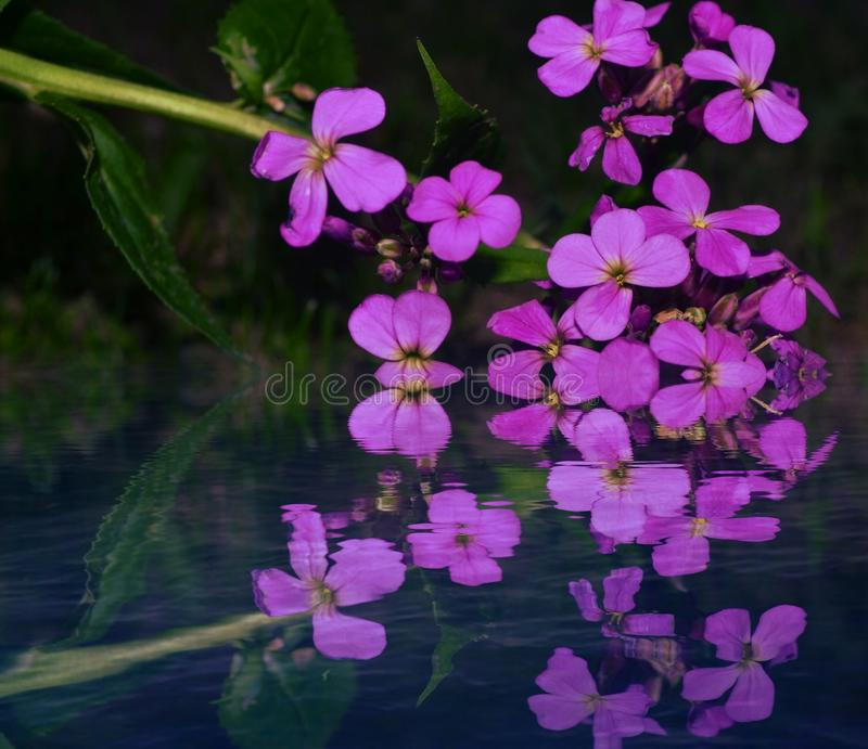 Purple Flowers Reflecting. Flowers Reflecting in water on a summer night royalty free stock photo
