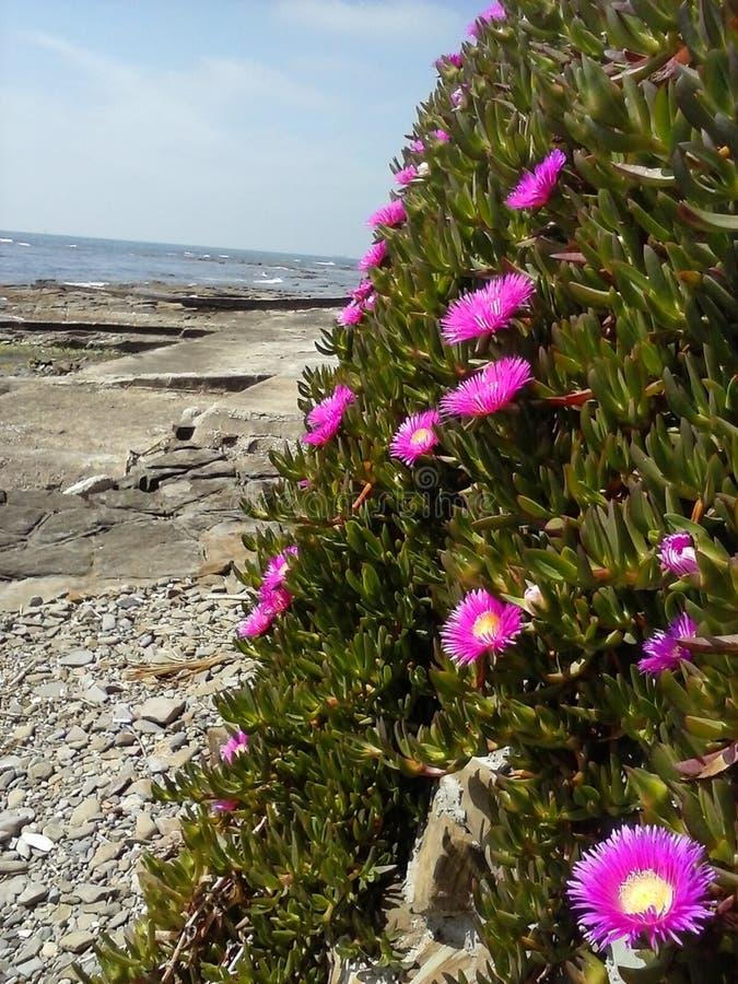 Purple flowers on rocky coastline royalty free stock photos