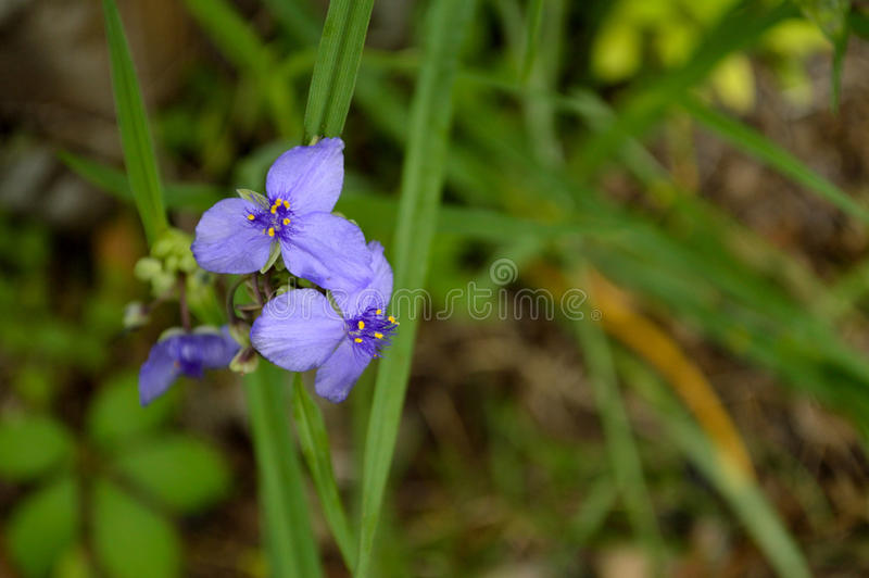 Purple flowers - spiderworts against foliage background. Lilac, purple colored spiderwort flowers (Tradescantia occidentalis) against a green background. Green stock photography