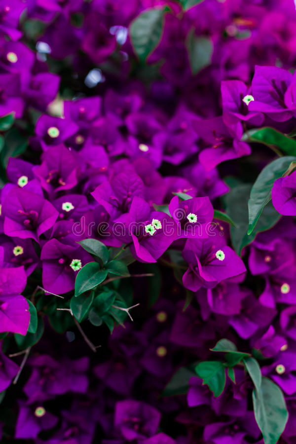 Purple Flowers in Spring stock image