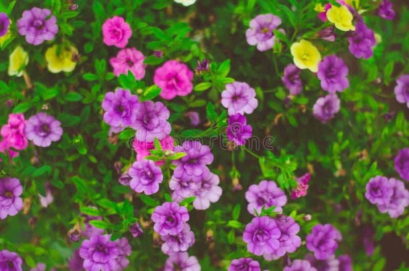 Purple flowers in sunny garden stock photo