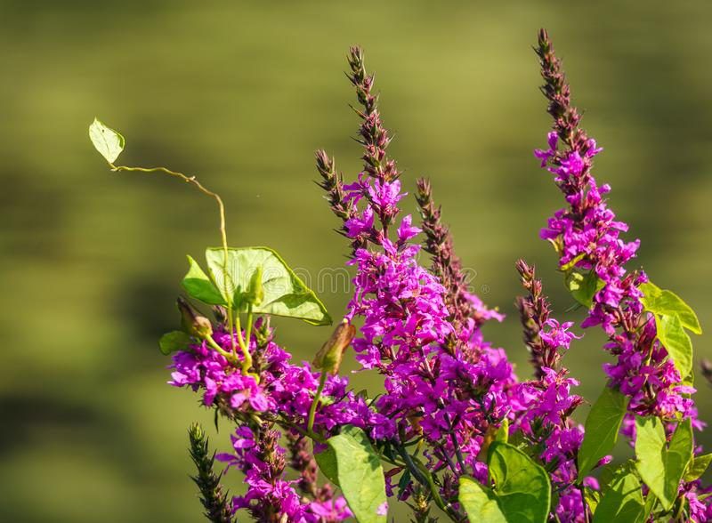 Purple flowers in sunny garden. Close up of purple flowers with green leaves in sunny garden royalty free stock images