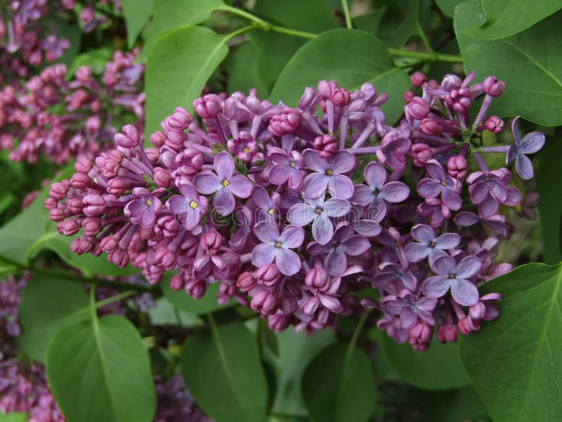 Purple flowers syringa vulgaris. This photo shows purple flowers syringa vulgaris royalty free stock photography