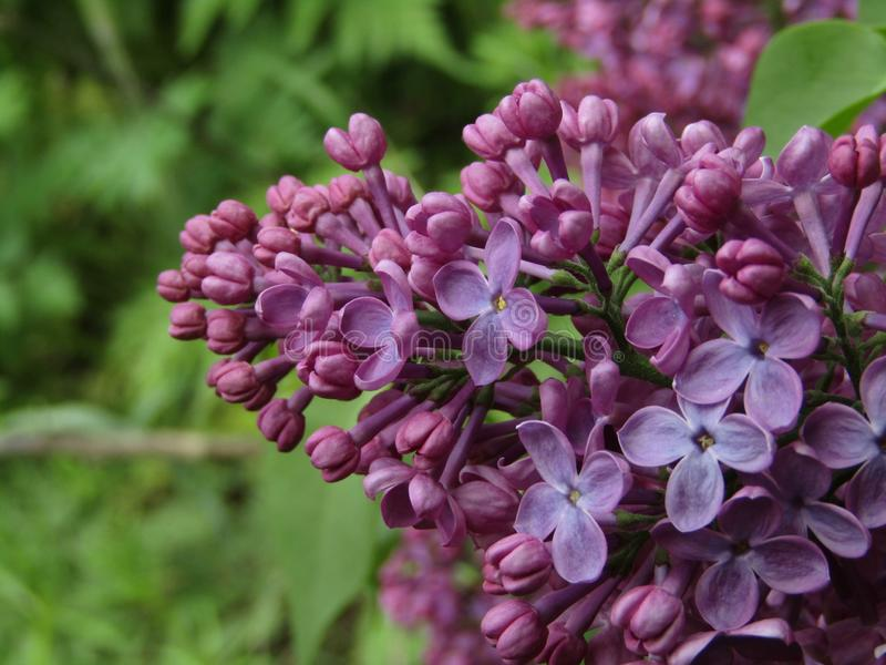 Purple flowers syringa vulgaris. This photo shows purple flowers syringa vulgaris royalty free stock photo