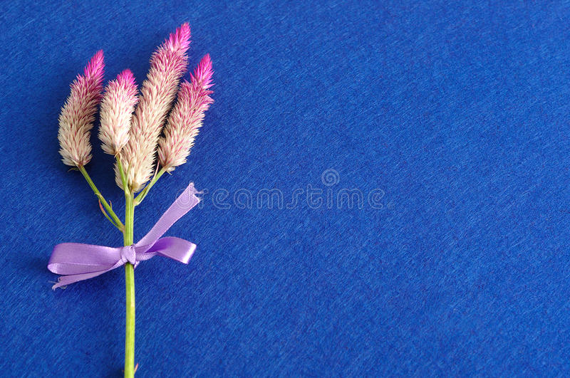 Purple flowers tied with a purple bow. Isolated on a blue background royalty free stock photo