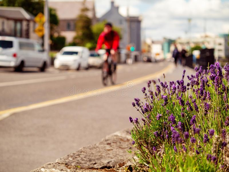 Purple flowers in town, abstract city life background, selective focus. Close up. Man on a bike in the background royalty free stock photos