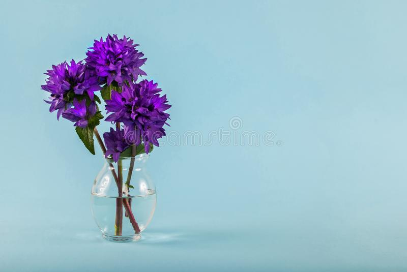 Purple flowers in a vase with water on a blue background with space for text. Purple flower in a glass vase with water on blue background and space for text and royalty free stock images