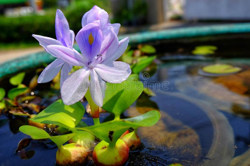 Purple flowers of water hyacinth In the green bath,Eichhornia cr stock photo