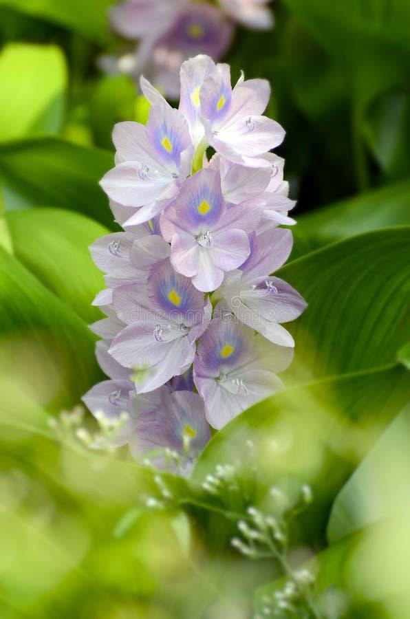 Purple flowers of Water Hyacinth. Purple flowers of Water Hyacinth with green leaves background stock images
