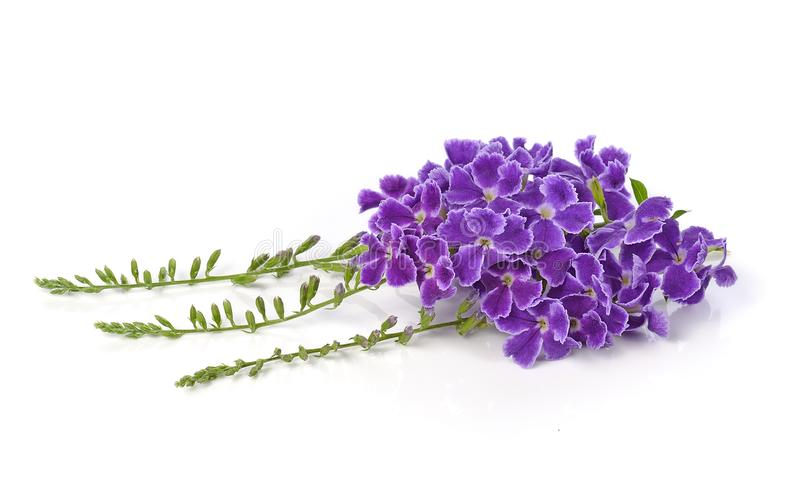 Purple flowers on a white background. royalty free stock images