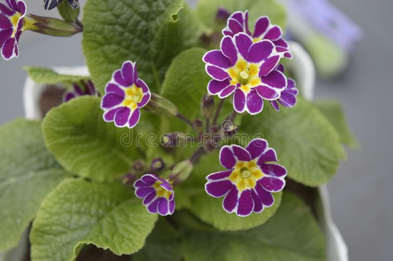 Purple flowers with white border royalty free stock images