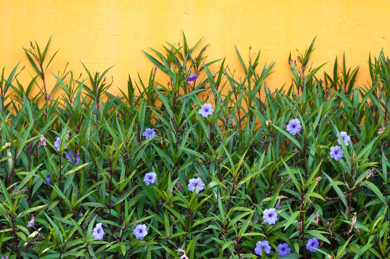 Purple flowers and yellow wall in the spring colors flowers. For background stock image