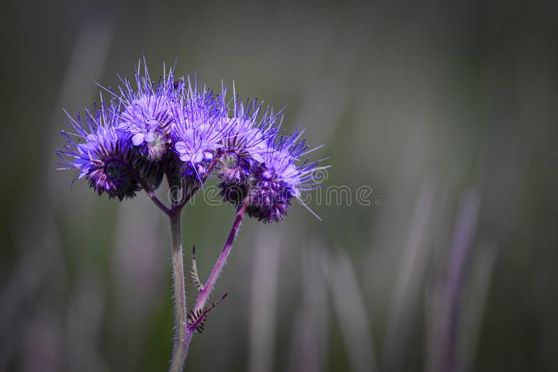 Purple Fluorescent flower. With stem against a blurred field background royalty free stock photo
