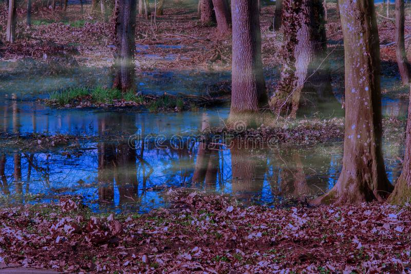 Purple forest in spring morning mist. Flooded forest with the reflection of trees trunk in blue water inside of Buzias Park from Romania royalty free stock images