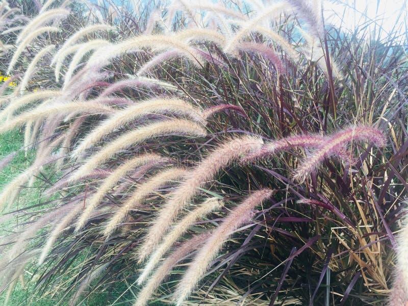 Purple Fountain Grass Stock Photos Download 766 Royalty Free Photos