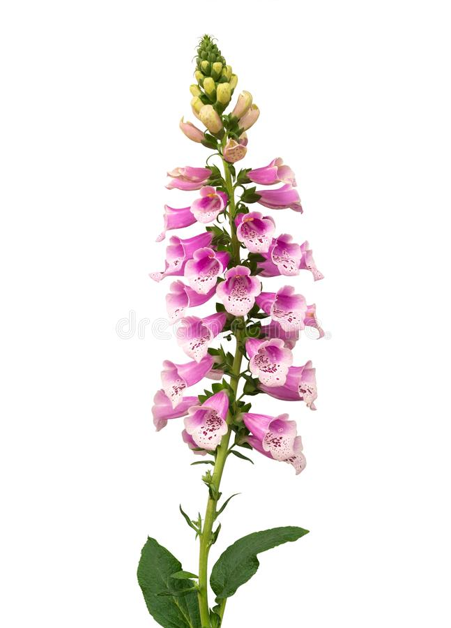 Purple foxglove Digitalis purpurea flowers isolated on white background,path. Purple foxglove Digitalis purpurea flowers isolated on white background, clipping stock image