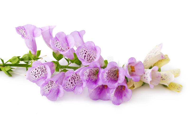 Purple Foxglove. Flower isolated over white background royalty free stock image