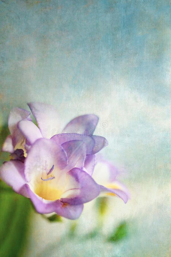 Purple Freesia Against a Blue Background stock photography