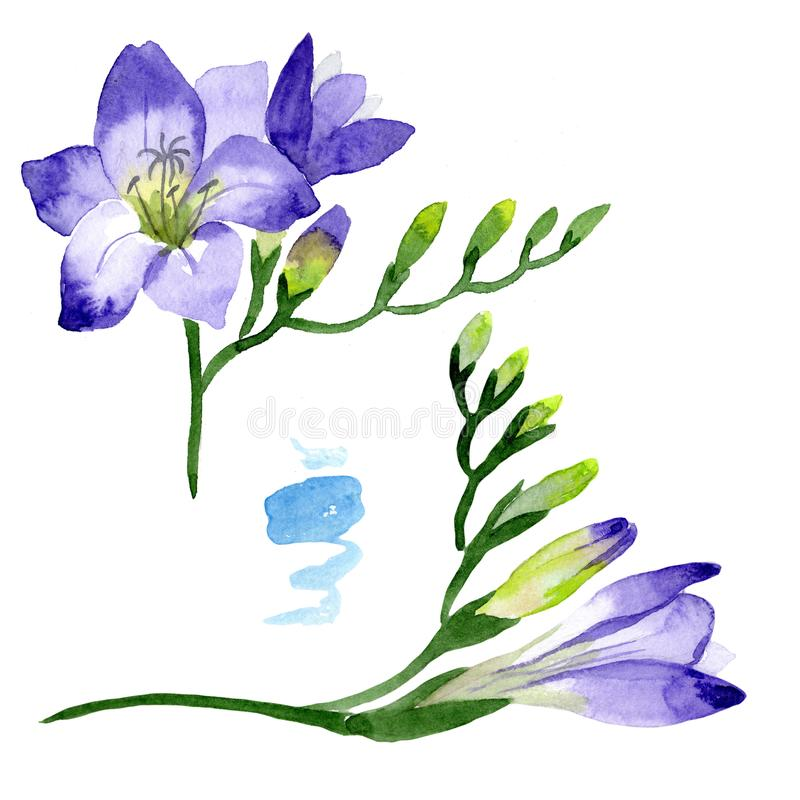 Purple freesia. Floral botanical flower. Wild spring leaf wildflower isolated. Aquarelle wildflower for background, texture, wrapper pattern, frame or border stock illustration