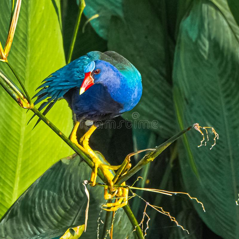 Free Purple Gallinule Looking At You Stock Photo - 161841000