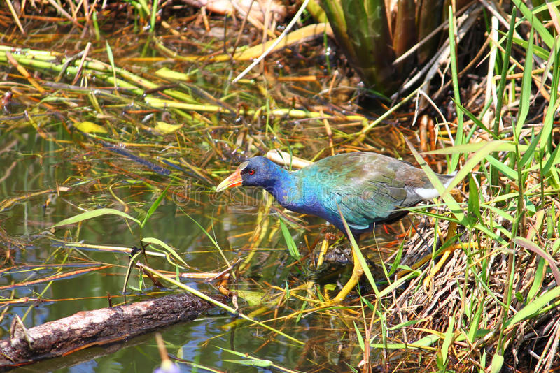 Purple Gallinule (Porphyrio martinica). In a wetland of the Everglades National Park - Florida royalty free stock image