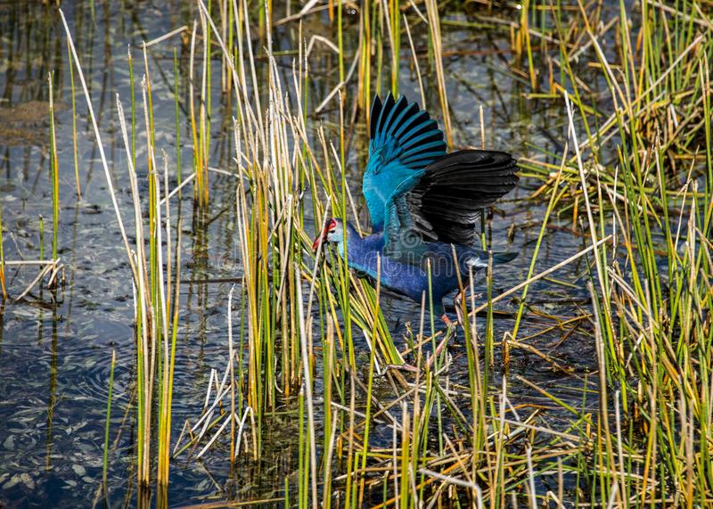 Purple Gallinule stock photos