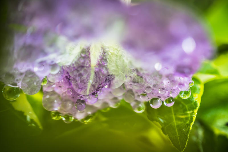Purple Ganges primrose flowers with water drops.  royalty free stock photography