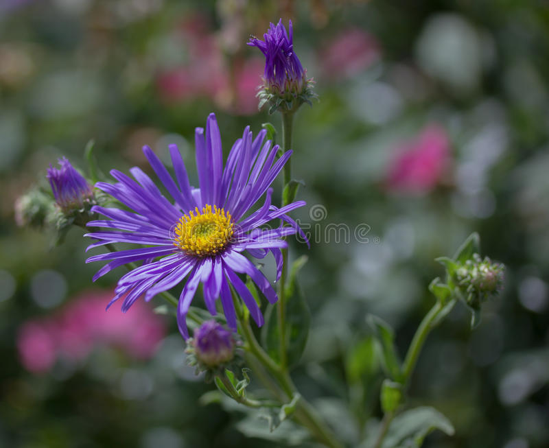 Purple garden flower stock photos