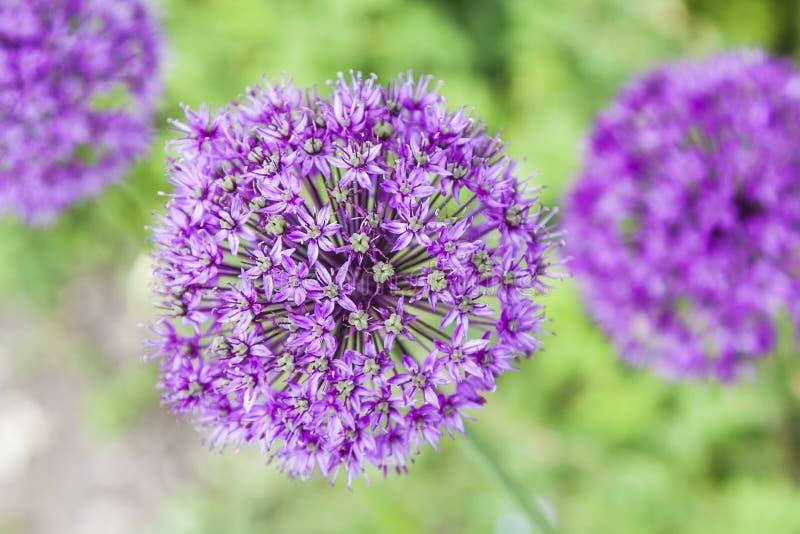 Purple garden flowers stock photography