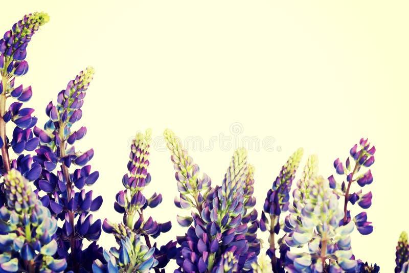 Purple garden lupine. stock photo