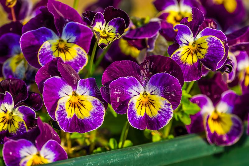 Purple garden pansy flowers in macro closeup, colorful ornamental flowers for the backyard, popular flowers from Europe and Asia, stock image