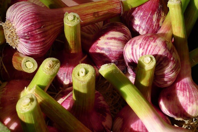 Purple garlic bulbs royalty free stock images