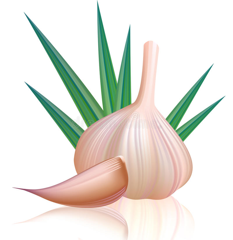 Purple garlic with clove. royalty free illustration