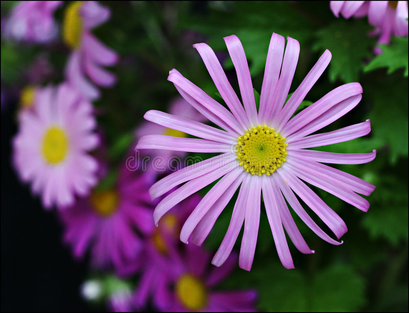 Purple Gerbera royalty free stock images