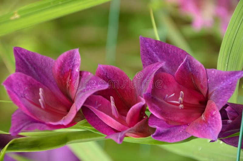 Purple gladiolus blooming in the garden royalty free stock photo