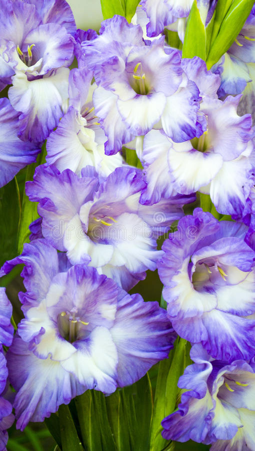 Purple gladiolus royalty free stock image