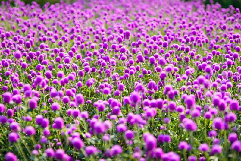 Purple `Globe Amaranth` flower or Bachelor Button, Globe Flower. In garden selective focus royalty free stock image
