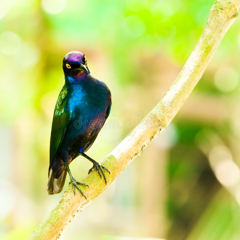 Purple Glossy Starling. A bright multi hued and iridescent Purple Glossy Starling perched on a branch stock photography