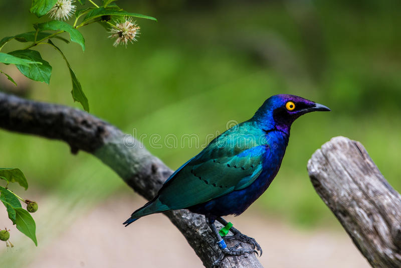 Purple glossy Starling. Beautifiul purple starling (Lamprotornis purpureus), also known as the purple glossy starling, is a member of the starling family of stock photos