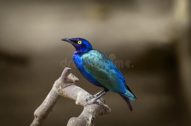 Purple glossy starling. Bird Over Natural Beige royalty free stock image