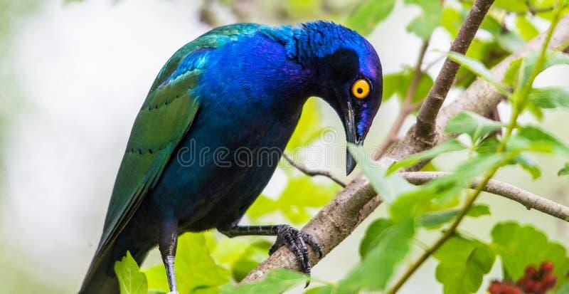 Purple glossy Starling stock photo