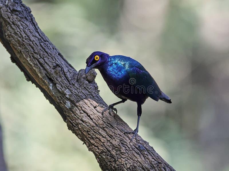 Purple glossy starling Lamprotornis purpureus stock image