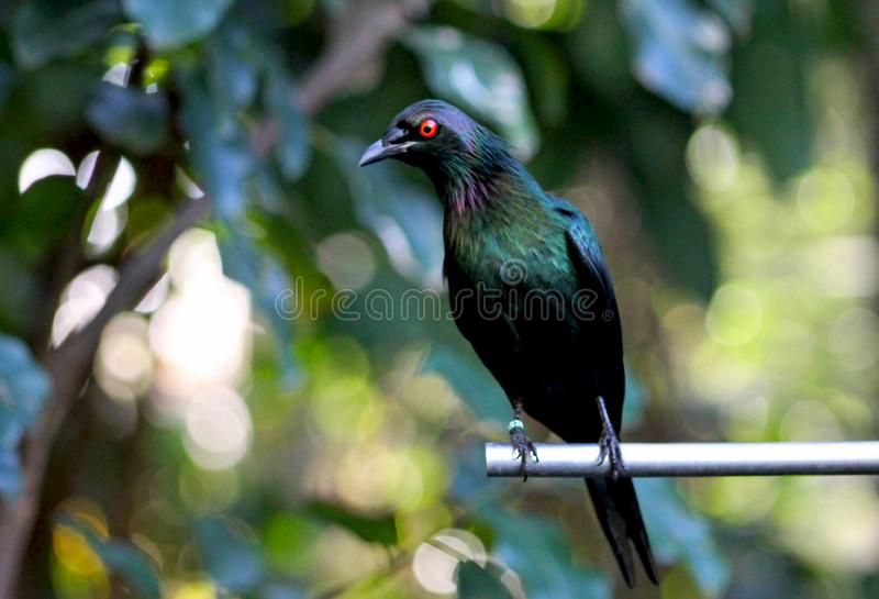 Purple glossy starling, Purple Starling, Lamprotornis purpureus royalty free stock images