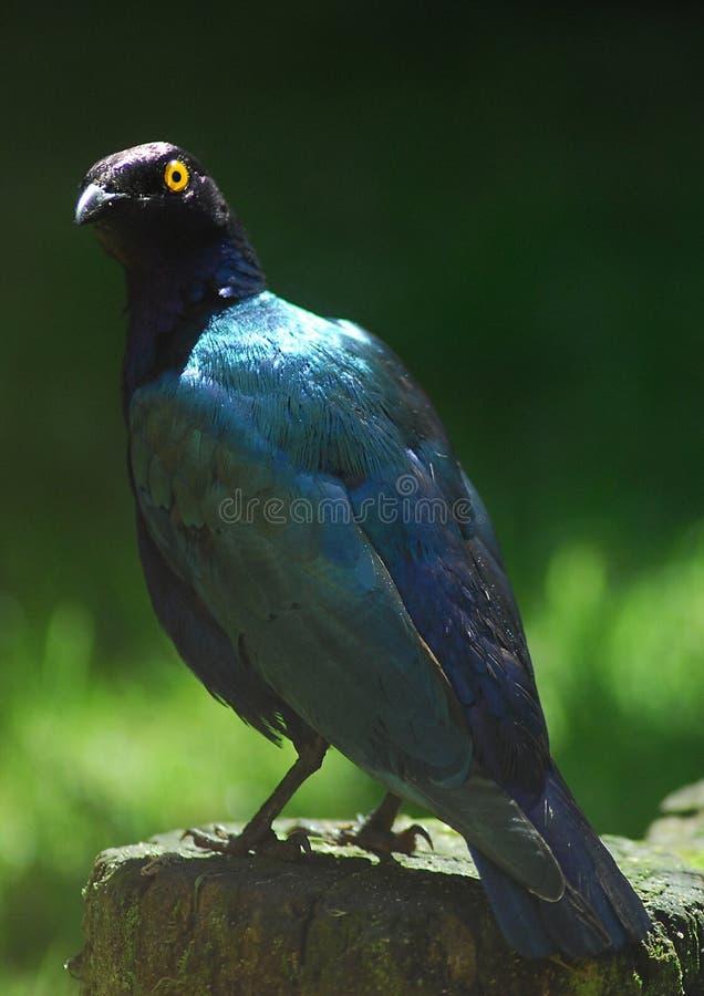 Purple Glossy Starling stock photography