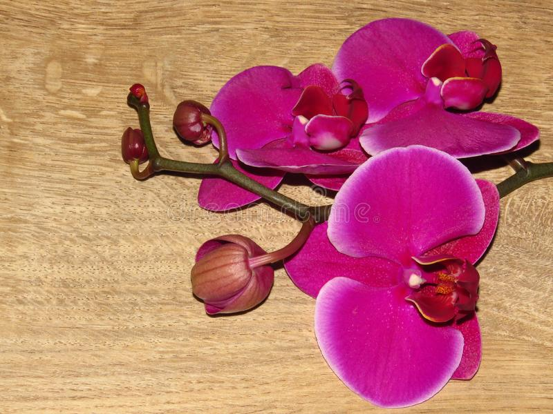 "Purple gorgeous bloom of Phalaenopsis orchid with white edges, ""moth orchids"". Beautiful exotic flowers. stock photos"