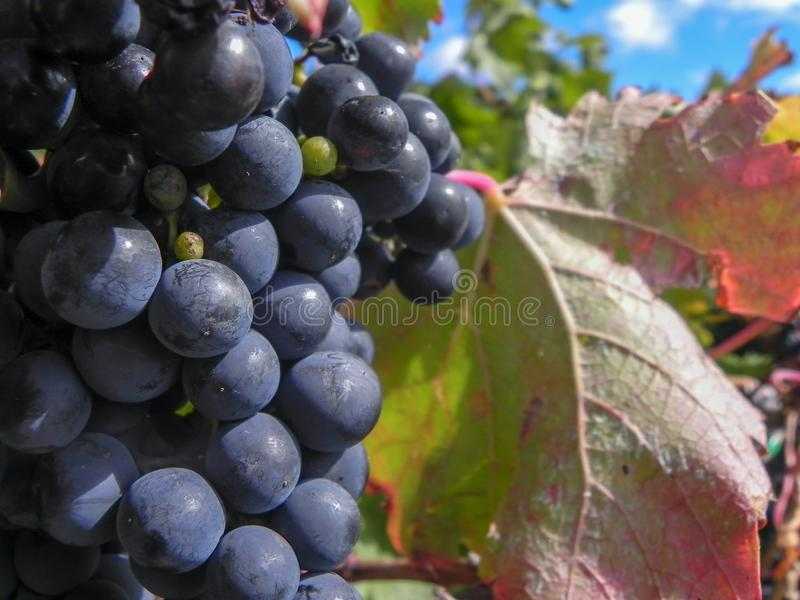 Purple Grapes Growing on the Vine with Green Leaves Behind. At Harvest stock photo