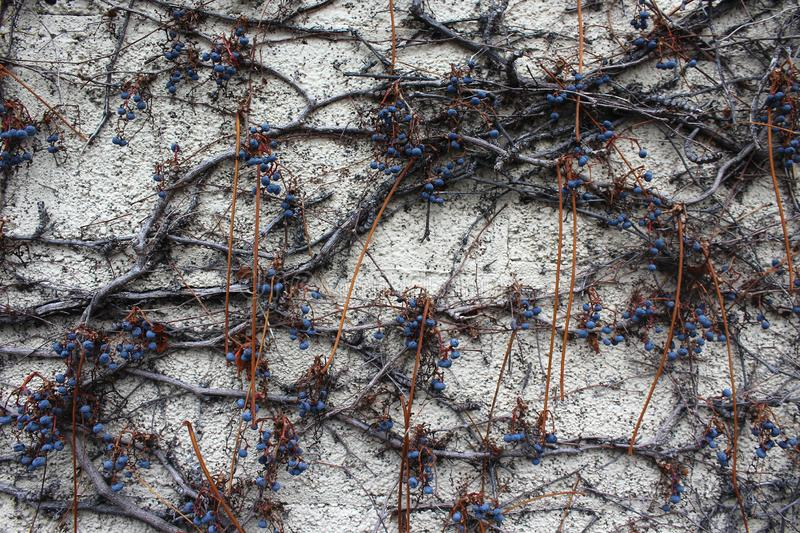 Purple Grapes Hang from a Vine on a Wall. Purple grapes hanging from their vine on a beige concrete wall royalty free stock photo