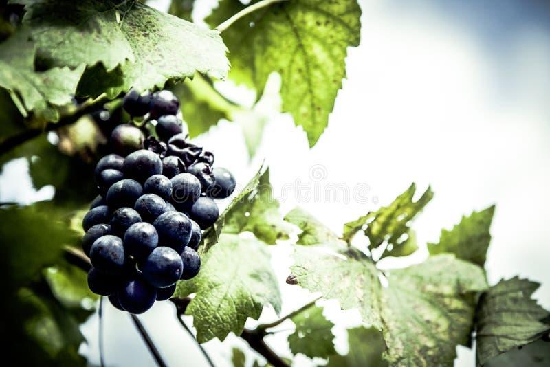 Purple Grapes Unattached To The Tree Free Public Domain Cc0 Image