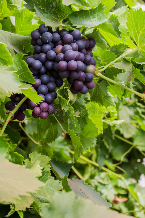 Purple Grapes on The Vine. A bunch of purple grapes hanging on the vine royalty free stock image